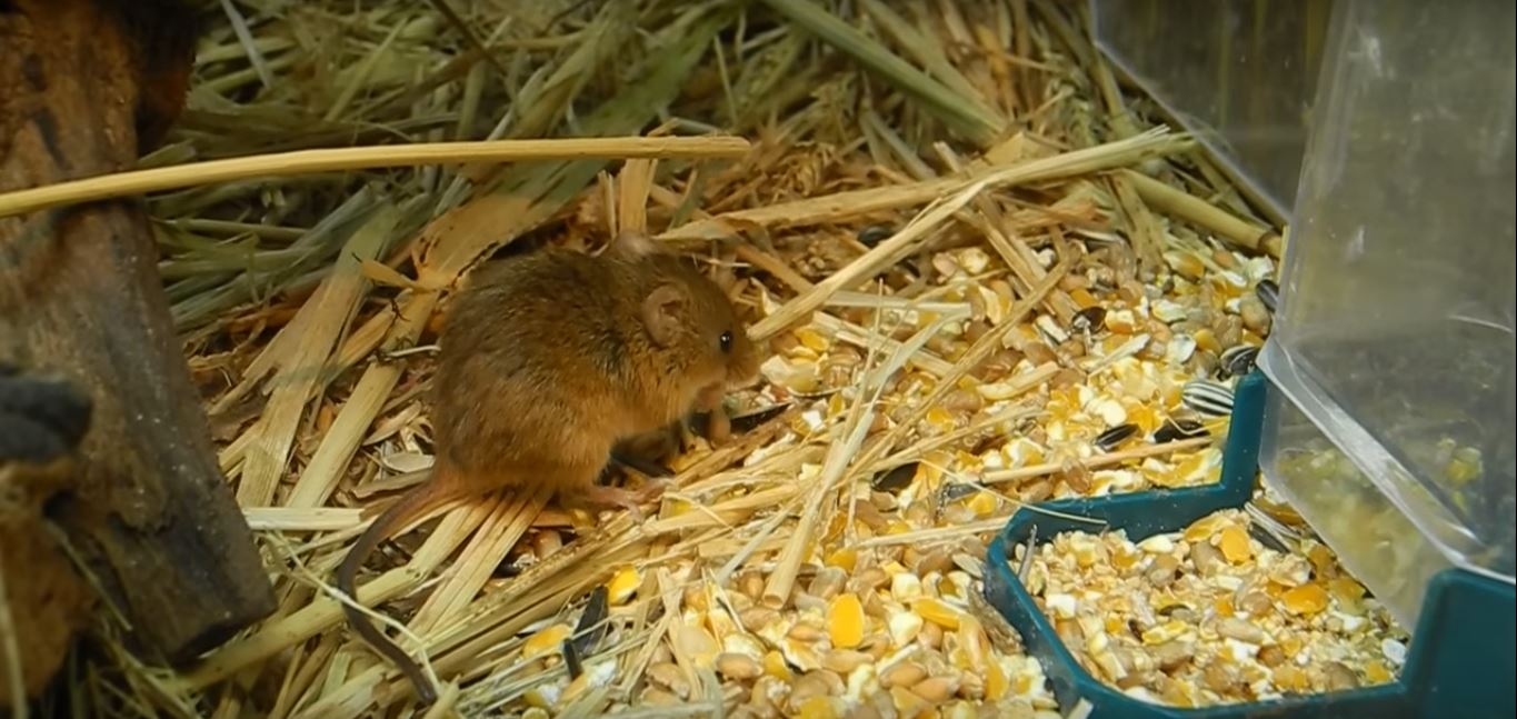 Will a House Mouse in the Attic Have a Nest of Babies?